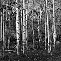 Black And White Photograph Of Birch Trees No. 0126 by Randall Nyhof