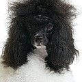 Black And White Poodle by Jean-Michel Labat