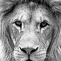 Black And White Portrait Of A Lion by Jaroslav Frank