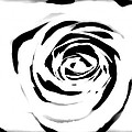 Black And White Rose by Chanelle Sheridan