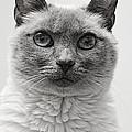 Black And White Siamese Cat by Richard Cheski