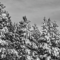 Black And White Snow Covered Trees by Brandon Bourdages