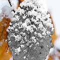 Black And White Snow Leaf by Jemmy Archer
