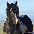Black And White Stallion Comes Close by Carol Walker
