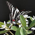 Black And White Swallowtail Square by Carol Groenen