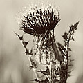 Black And White Thistle by Erin Johnson