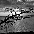 Black And White Tree by Tracy Barnard