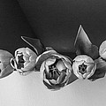 Black And White Tulips by Jacqueline Milner