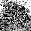 Black And White Uprooted Tree by Douglas Barnard
