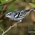Black And White Warbler by Anthony Mercieca