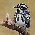 Black And White Warbler by Jimmie Trotter