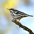 Black And White Warbler by John Vose