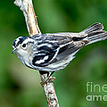 Black-and-white Warbler Mniotilta Varia by Anthony Mercieca
