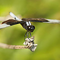 Black And White Widow Skimmer by Kathy Clark