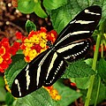 Black And Yellow Butterfly by Scenic Sights By Tara