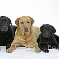 Black And Yellow Labradors With Puppy by John Daniels