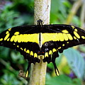 Black And Yellow Swallowtail Butterfly by Amy McDaniel