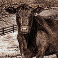 Black Angus In The Field by Nicole Troup
