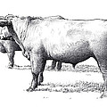 Black Angus Steers On Almshouse Road by William Beauchamp