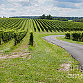 Maryland Vinyard In August by Thomas Marchessault