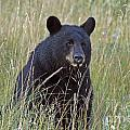 Black Bear  - Near Glacier by Cindy Murphy - NightVisions