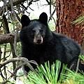 Black Bear 1 by Will Borden