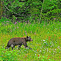 Black Bear Along Yellowhead Highway-bc by Ruth Hager