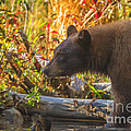 Black Bear Autumn by Mitch Shindelbower