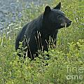 Black Bear by Cindy Murphy - NightVisions