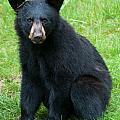 Black Bear Cub by Brenda Jacobs