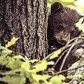 Black Bear Cub by Cheryl Baxter