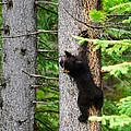 Black Bear Cub Climbing A Pine Tree by Brandon Smith
