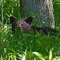 Black Bear Cub by Mary Almond