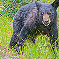 Black Bear Cub Near Road In Grand Teton National Park-wyoming by Ruth Hager