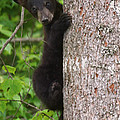 Black Bear Cub by Sharon Fiedler