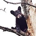 Black Bear Cub Up In A Dead Tree In Northern Minnesota by Randall Nyhof