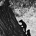 Black Bear Cubs Climbing A Tree by Crystal Wightman