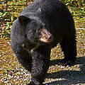 Black Bear by David Salter