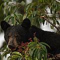 Black Bear by Doug McPherson