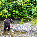 Black Bear Eating A Salmon In Fish Creek In Tongass National Forest-ak by Ruth Hager