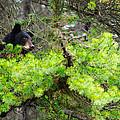 Black Bear Family In A Tree by Brandon Smith