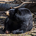 Black Bear Guarding Food by Chris Flees