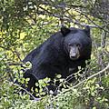 Black Bear II by Gary Langley