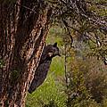 Black Bear In A Tree by J L Woody Wooden