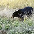 Black Bear In Autumn by Dennis Hammer