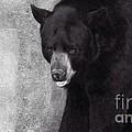 Black Bear Pose by Susan Garren