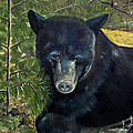 Bear Painting - Scruffy - Profile Cropped by Jan Dappen