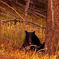 Black Bear Sticking Out Her Tongue  by Jeff Swan