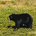 Black Bear  by Tommy Anderson