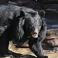 Black Bear by Tonya Hance